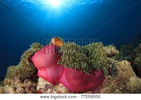 Skunk anemonefish (clownfish) in anemone on underwater coral reef