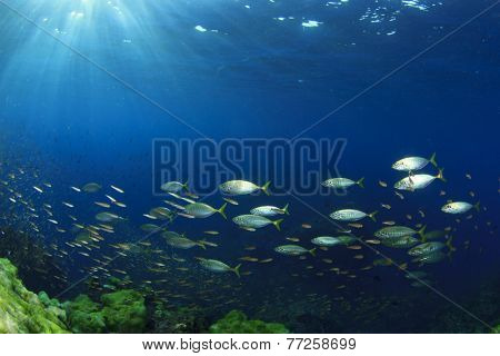 Shoal )school) of fish underwater