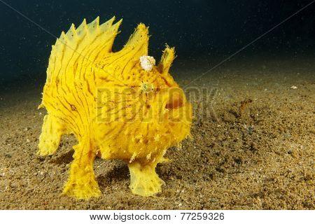 Shaggy Frogfish (Anglerfish)