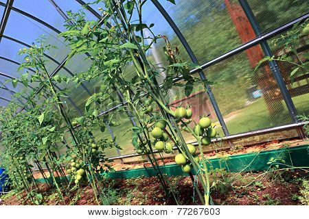 Green Tomatoes Ripening On The Bush In A Greenhouse