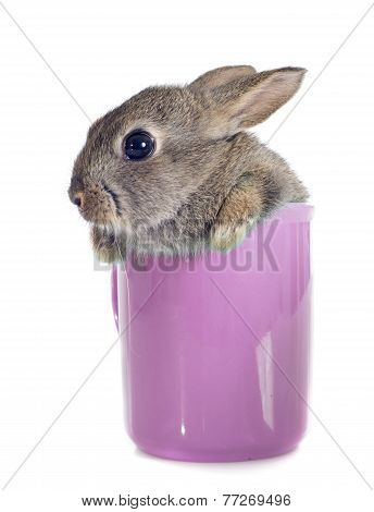 European Rabbit In Teacup