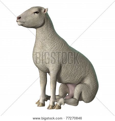 Sheep On White