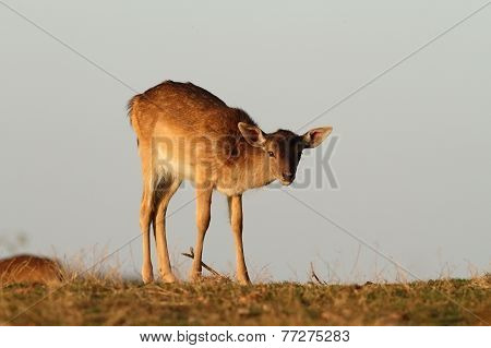 Fallow Deer Calf Looking At Camera
