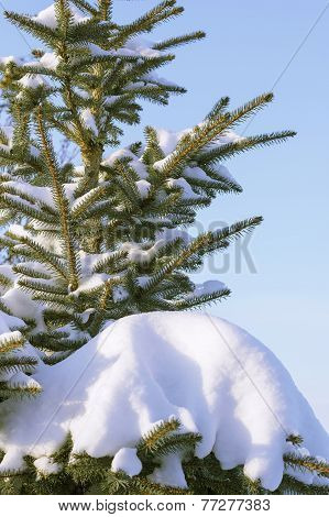 Snow-covered Fir Tree On The Blue Background Of The Sky