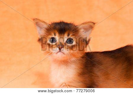 Closeup Portrait Of Somali Kitten