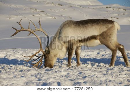 Reindeer in natural environment, Tromso region, Northern Norway.