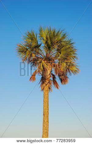 Coconut Palm (cocos Nucifera) In Tropical Light