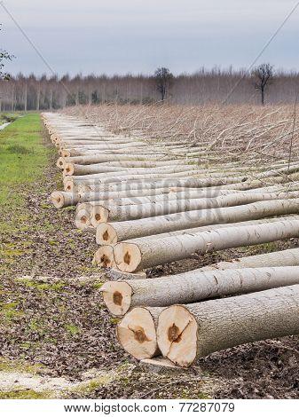 Cutting Of Trees, Poplars