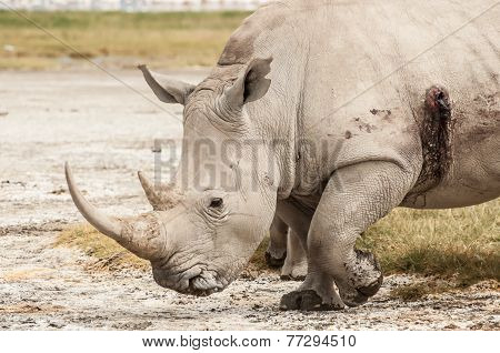 Wounded Rhino