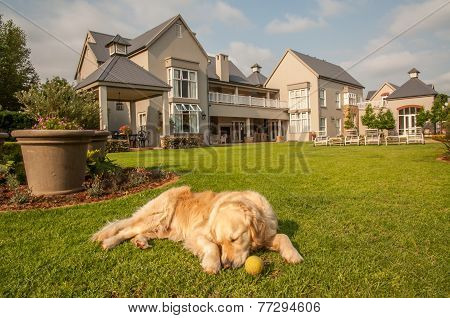 Golden Retriever Relaxing