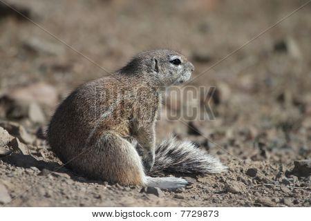 Ground Squirrel Sitting In Sun