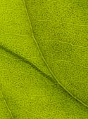 image of photosynthesis  - macro shot of a green leaf surface - JPG