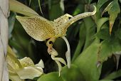 ������, ������: Eye spot Stanhopea Orchid