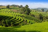 foto of bong  - Green Terraced Rice Field at Ban Pa Bong Peay in Chiangmai - JPG