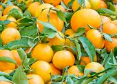 stock photo of clementine-orange  - Fresh oranges with leaves on display in a market - JPG