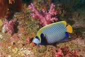 foto of angelfish  - Emperor Angelfish - JPG
