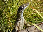 pic of goanna  - Close up of Sand Goanna in long grass on log - JPG