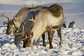 foto of caribou  - Reindeers in natural environment, Tromso region, Northern Norway