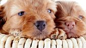 foto of fluffy puppy  - Two puppies in a wattled basket - JPG