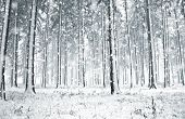 stock photo of snow forest  - Panorama of winter forest with trees covered snow  - JPG