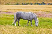 image of dapple-grey  - Gray white dappled horse grazing on a grassy meadow - JPG