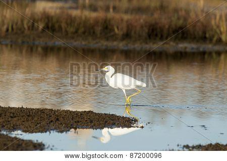 Snowy Egret Stroll