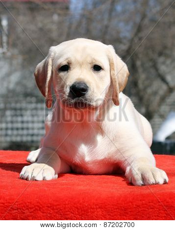 A Yellow Labrador Puppy Laying On Red Background