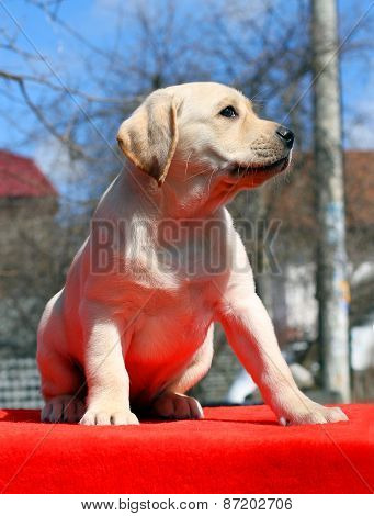 A Yellow Labrador Puppy On Red Background