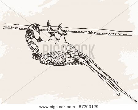 Sketch of parrot, Hand drawn vector illustration