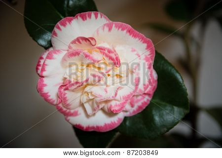 The beauty of the camellia