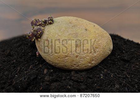 Potato On Soil