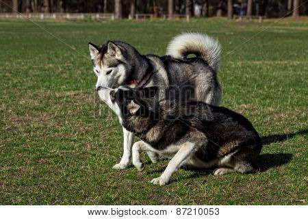 Black Siberian Husky is sniffing another dog.
