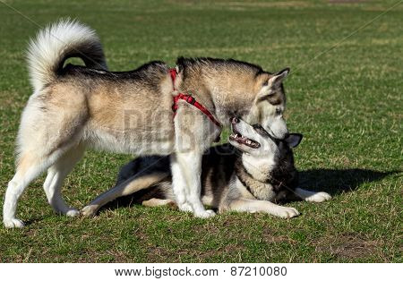 Siberian Husky is sniffing another dog.