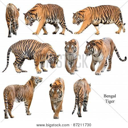 male bengal tiger isolated