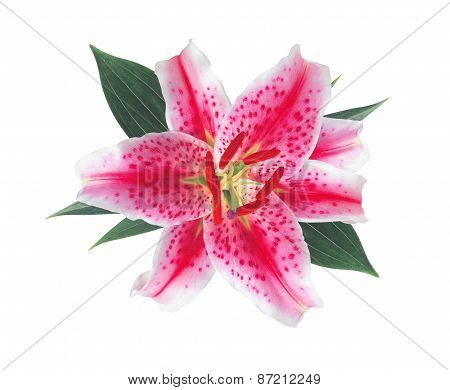 Pink Flower Lily Isolated On White Background