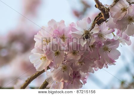Bumblebee on a cherry flower