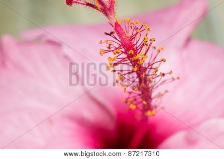 Macro Pink Flower With Yellow Details. Pollen Vivid Petals.