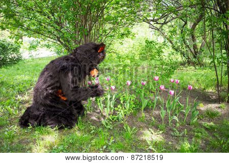 actor dressed as bear smells tulips against the background of green bushes