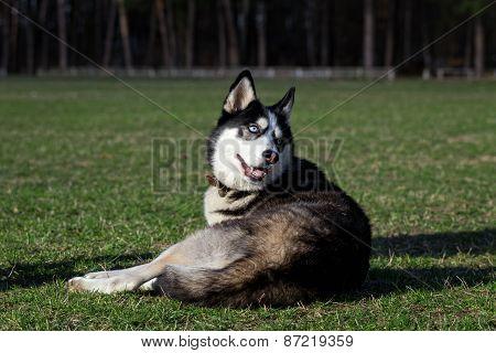 Siberian Husky resting after active walk.