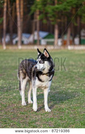 Siberian Husky examines the surrounding area.