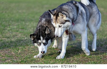 Two Siberian Husky is strolling next to each other