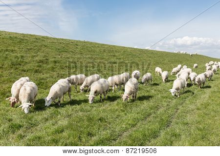 Flock Of Sheep Grazing Along A Dutch Dike