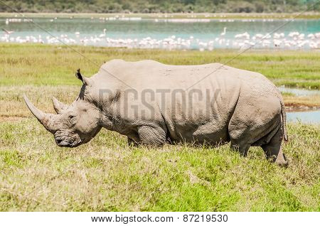 White Rhinoceros In Full View By Lake.