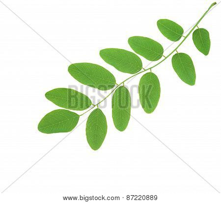 Linden Green Leaves Isolated On White