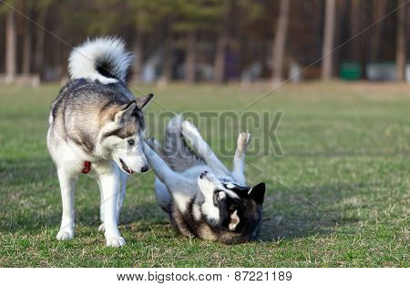 Two Siberian Husky frolic on the lawn.