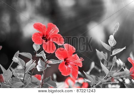 Red Hibiscus Flower Over Black And White Background