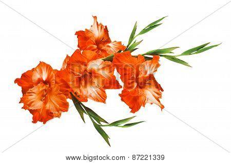 Beautiful Orange Gladiolus Isolated On White Background