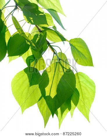 Poplar twig