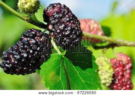 Branch Of Black Mulberry