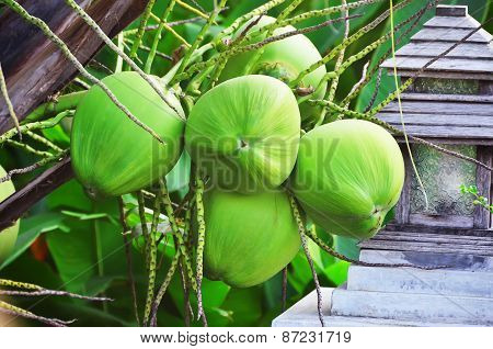 Young Coconuts on the tree